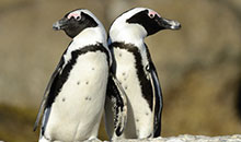 Penguin Parade Afternoon Wildlife Tour